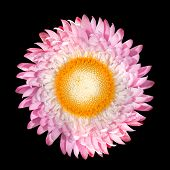 Pink Strawflower, Helichrysum Bracteatum Isolated On Black