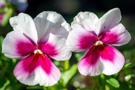 picture of viola  - Two wild pansy flowers  - JPG