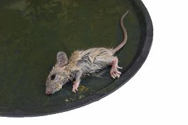 image of mouse trap  - A little mouse stick on Glue trap - JPG