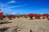 image of swales  - Wine red apricot orchard on sandy lakeside - JPG
