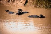 foto of wallow  - Several buffalo wallowing in muddy water in the countryside outside - JPG