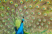 image of peahen  - Beautiful portrait of a male peacock spreading its vibrant wings to attract female peahens - JPG