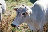 pic of zebu  - A close up of the head of a zebu cow - JPG