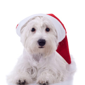 image of westie  - White puppy dresed in santa claus costume looking at the camera - JPG