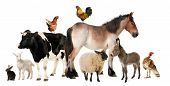 stock photo of turkey-hen  - Variety of farm animals in front of white background - JPG