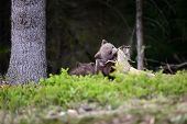 Young Brown Bear In The Forest poster