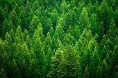 Forest of pine trees in wilderness mountains rugged green poster