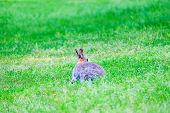 Gray Hare Sitting In The Green Grass In The Forest. poster