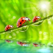 stock photo of water bug  - Funny picture of the ladybugs family running on a grass bridge over a spring flood - JPG