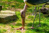 Marabou Stork Feeding On A Dead Animal Carcass, Tropical Scavenger Bird From Africa poster