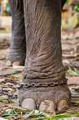 Close-up of an elephant leg in chains in elephant camp. Unethical elephant tourism in Thailand poster