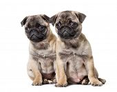 Pug Puppy sitting against white background poster