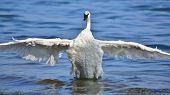Trumpeter Swan Extending Wings To Dry  This Sun Lit Trumpeter Swan Is Extending Its Wings To Help Th poster