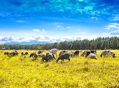 Flock Of Sheep And Cows Pasturing On Green And Yellow  Grass In A Sunny Day poster