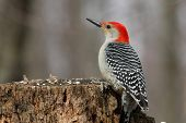 pic of pecker  - Red - JPG