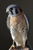 stock photo of small-hawk  - american kestrel perched on a log - JPG
