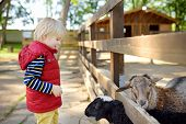 Little Boy Petting Sheep. Child In Petting Zoo. Kid Having Fun In Farm With Animals. Children And An poster