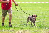 The German Shorthaired Pointer Runs With The Host While Strolling In The Stadium. Morning Jogging Wi poster
