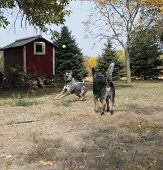 stock photo of blue heeler  - Blue heeler dogs playing ball on the farm
