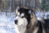 foto of malamute  - Alaskan Malamute in the snow - JPG