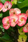 pic of poi  - Close up Red Poi Sian flowers blooming in garden - JPG