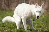stock photo of pooping  - Husky with blue eyes pooping in a dog park - JPG