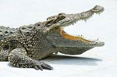 stock photo of alligator  - Close up of an Alligator - JPG