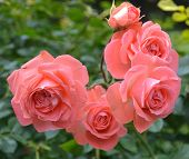 foto of climbing roses  - pink roses in the garden flora natural