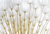 Soft White Dandelion Seeds poster