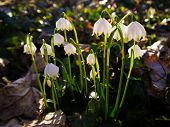 picture of lent  - Lent Lilies in a park in Germany - JPG