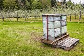 Beehives in an apple orchard to aid in pollination.