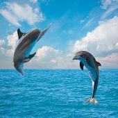 stock photo of bottlenose dolphin  - two  jumping dolphins - JPG