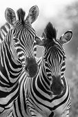 stock photo of mare foal  - Zebra mare and foal standing close together in the bush for safety artistic concersion - JPG