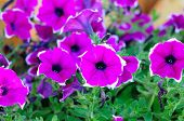 picture of petunia  - picture of a bouquet of pink Petunia multiflora Merlin - JPG