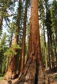 Bachelor and the Three Graces a stand of famous and protected Sequoia Gigantica (Redw0od) trees in M