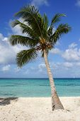 picture of west indies  - Caribbean Beach with palm trees, Dominican Republic, West Indies, Caribbean