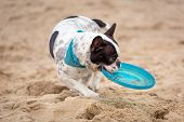 foto of frisbee  - French bulldog running on the beach with frisbee - JPG