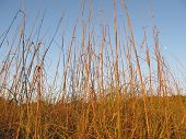 stock photo of sea oats  - Sunlit Sea Oats with a blue sky - JPG