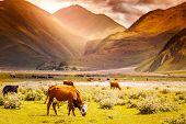 picture of herd  - herd of cows grazing on a background of mountain scenery at sunset - JPG