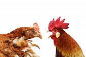 stock photo of fighting-rooster  - family argue metaphor with hen and rooster isolated on white - JPG