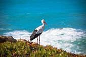 stock photo of stork  - Stork on a Cliff at Western Coast of Portugal - JPG