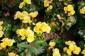 pic of begonias  - Top view of yellow big begonias in garden - JPG