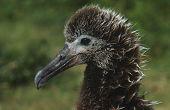 pic of albatross  - Profile of Laysan Albatross  - JPG