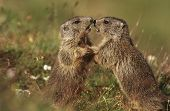 stock photo of marmot  - Two Marmots on meadow - JPG