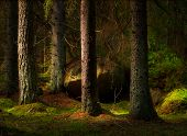 picture of conifers  - Forest with conifers and big boulder in magic evening light - JPG