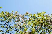 stock photo of dogwood  - White flowering dogwood tree  - JPG