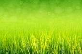 stock photo of horticulture  - Lush green paddy in rice field with bokeh abstract background. Top negative space can be use for words, bodycopy or writing.