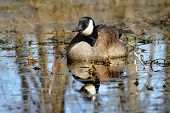 stock photo of canada goose  - Canada Goose  - JPG