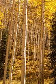 pic of colorado high country  - Aspen Trees glow in Colorado high country - JPG