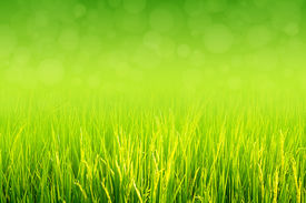 picture of food plant  - Lush green paddy in rice field with bokeh abstract background. Top negative space can be use for words, bodycopy or writing.